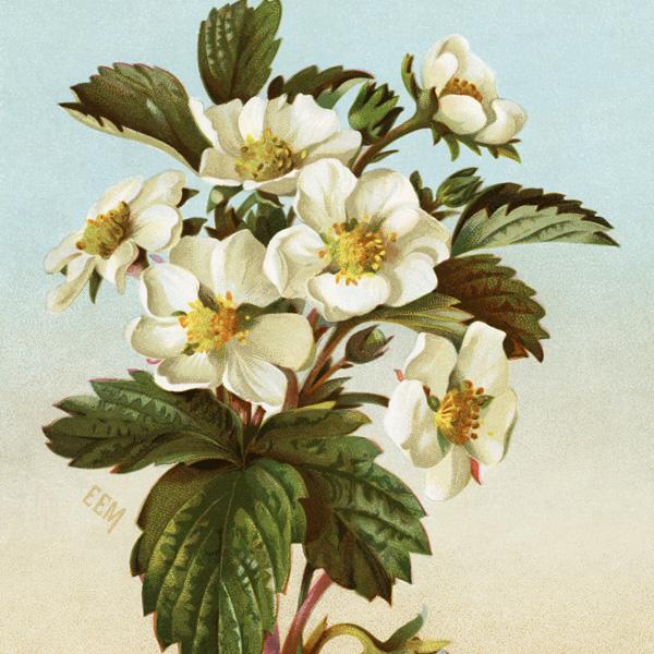 flowering strawberry plant illustration, free vintage clipart, free vintage image, public domain image, royalty free, victorian card strawberry plant, vintage botanical image, white strawberry flowers
