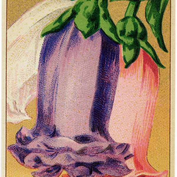 vintage french seed packet, seed label bellflower, campanule a grosse, fleur double variee, antique seed label, old seed packet graphic, canterbury bells