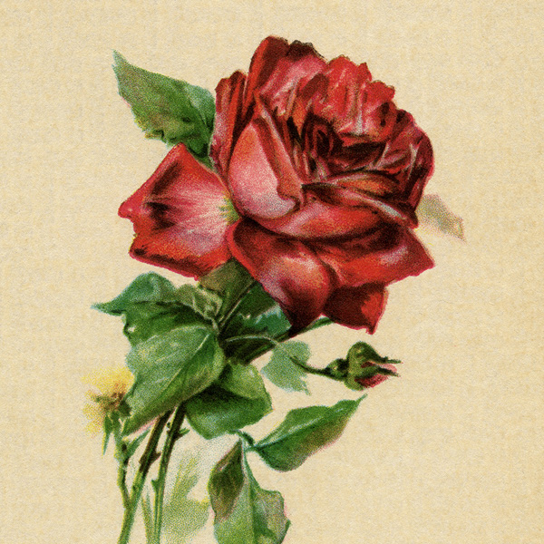 red rose postcard, vintage rose clipart, free digital graphics, antique flower image, printable rose card