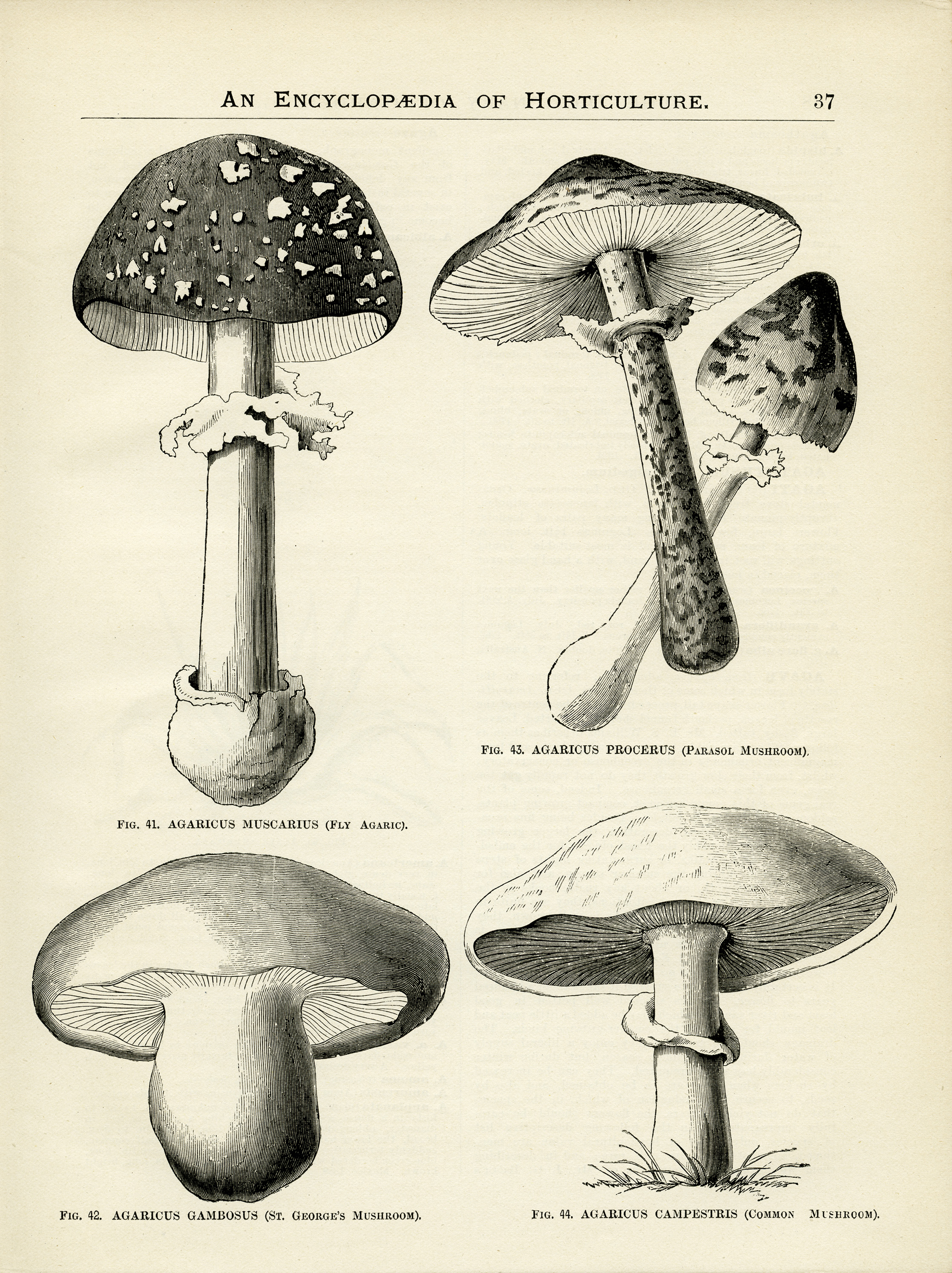 Scientific Mushroom Drawings Images amp Pictures Becuo