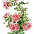 Free Vintage Image ~ Branch of Pink Roses