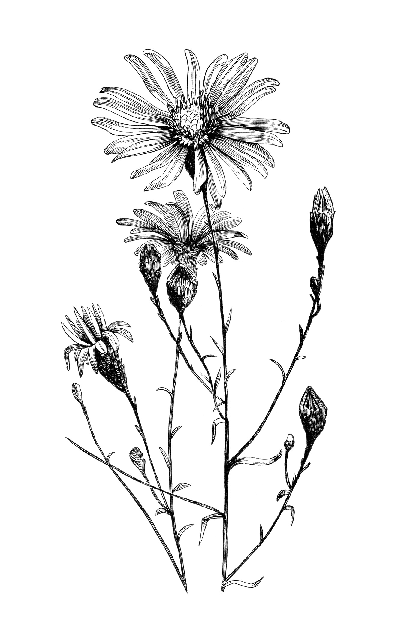 Aster Flower Line Drawing : Aster flower free vintage clip art image old design