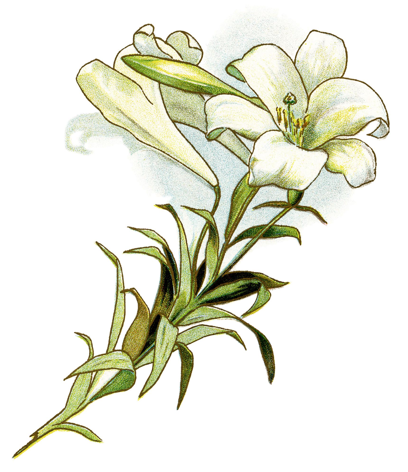 vintage flower clipart, white lily image, easter lily illustration ...: olddesignshop.com/2014/03/white-lily-free-vintage-image