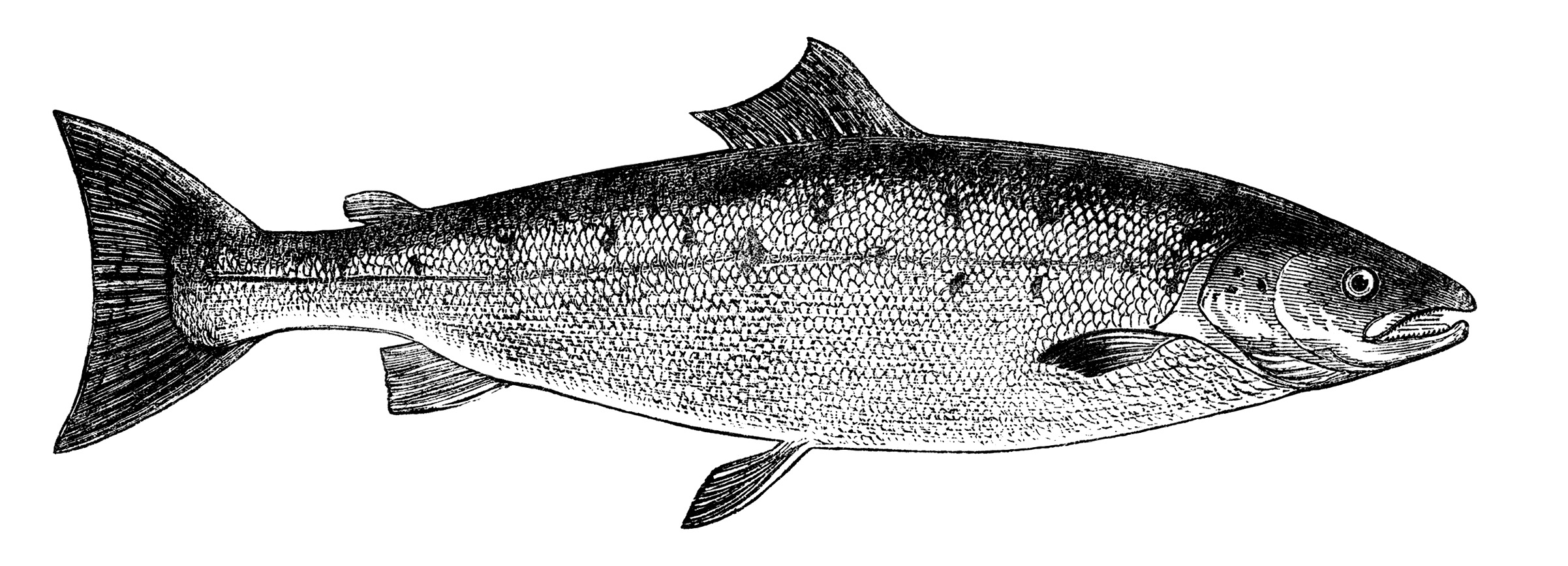 Free vintage fish images salmon and carp old design for Salmon fish images