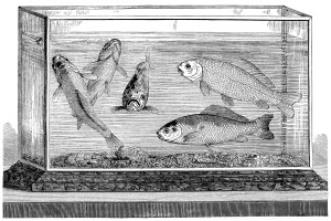 goldfish aquarium engraving, black and white clip art, vintage fish clipart, cassell's household guide