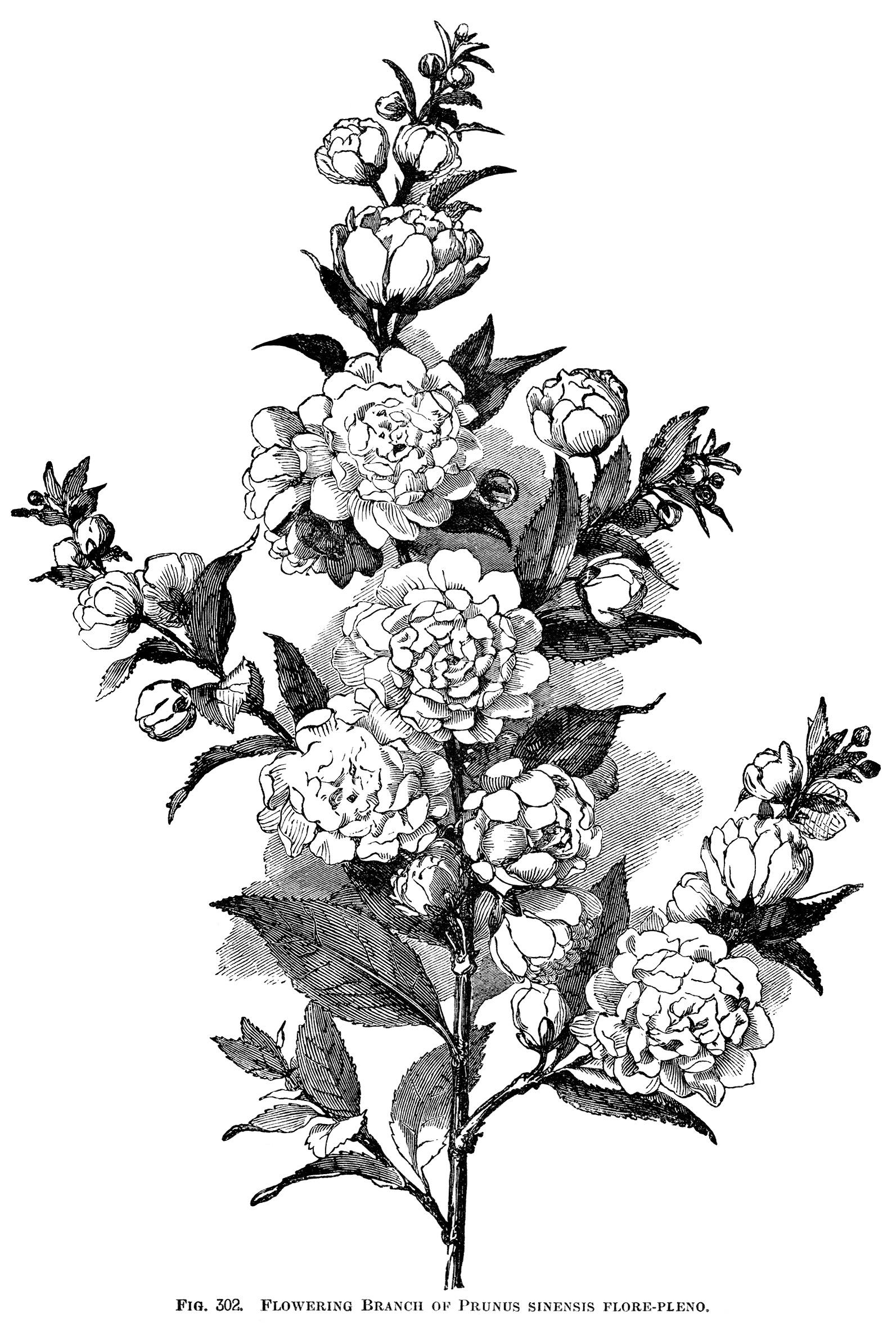 Wittimanniana Peony Peony Clip Art Botanical Engraving Black