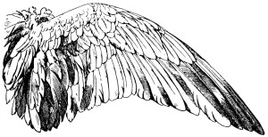 vintage wings clipart, handbook of ornament, franz meyer, black and white clip art, duck wing illustration, goose wing image