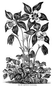 Aquilegia Glandulosa, granny's bonnet flower, black and white graphics, vintage flower illustration, printable floral image