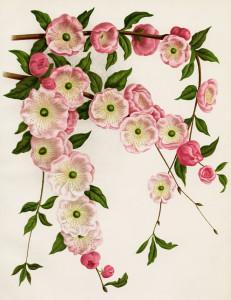 Prunus Triloba, flowering almond image, pink flower printable, vintage botanical picture, pink blossoms illustration