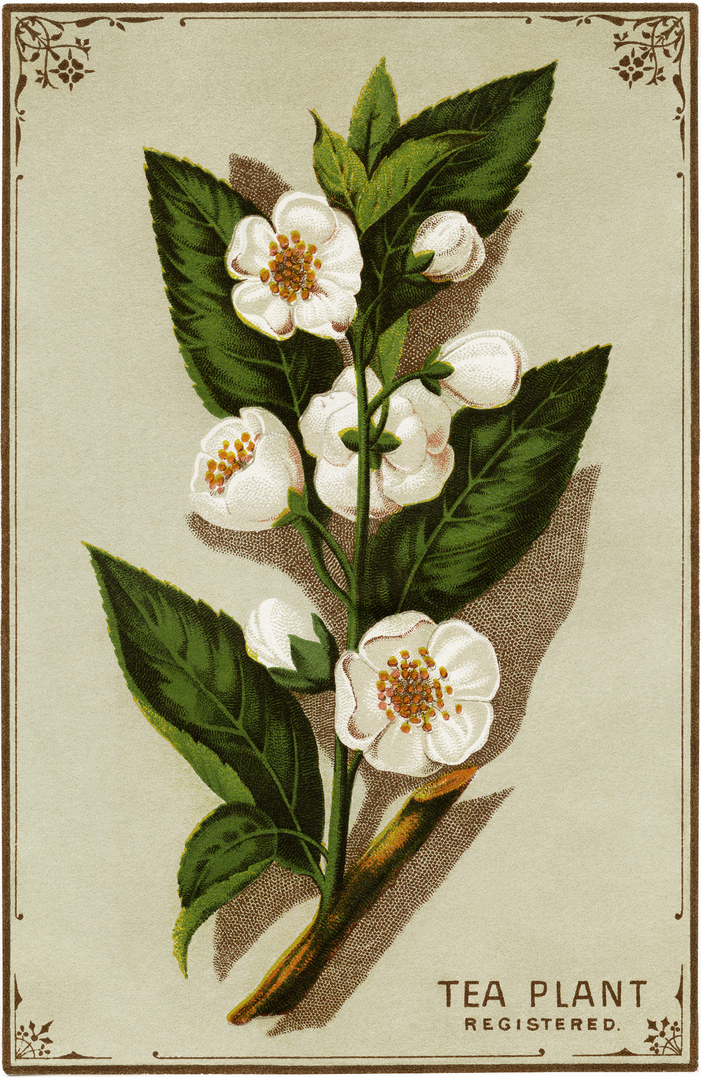 Victorian Tea Plant Trading Card Free Graphic Old