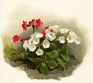 flower botanical illustration, vintage floral illustration, white red flowers image, primula rosea