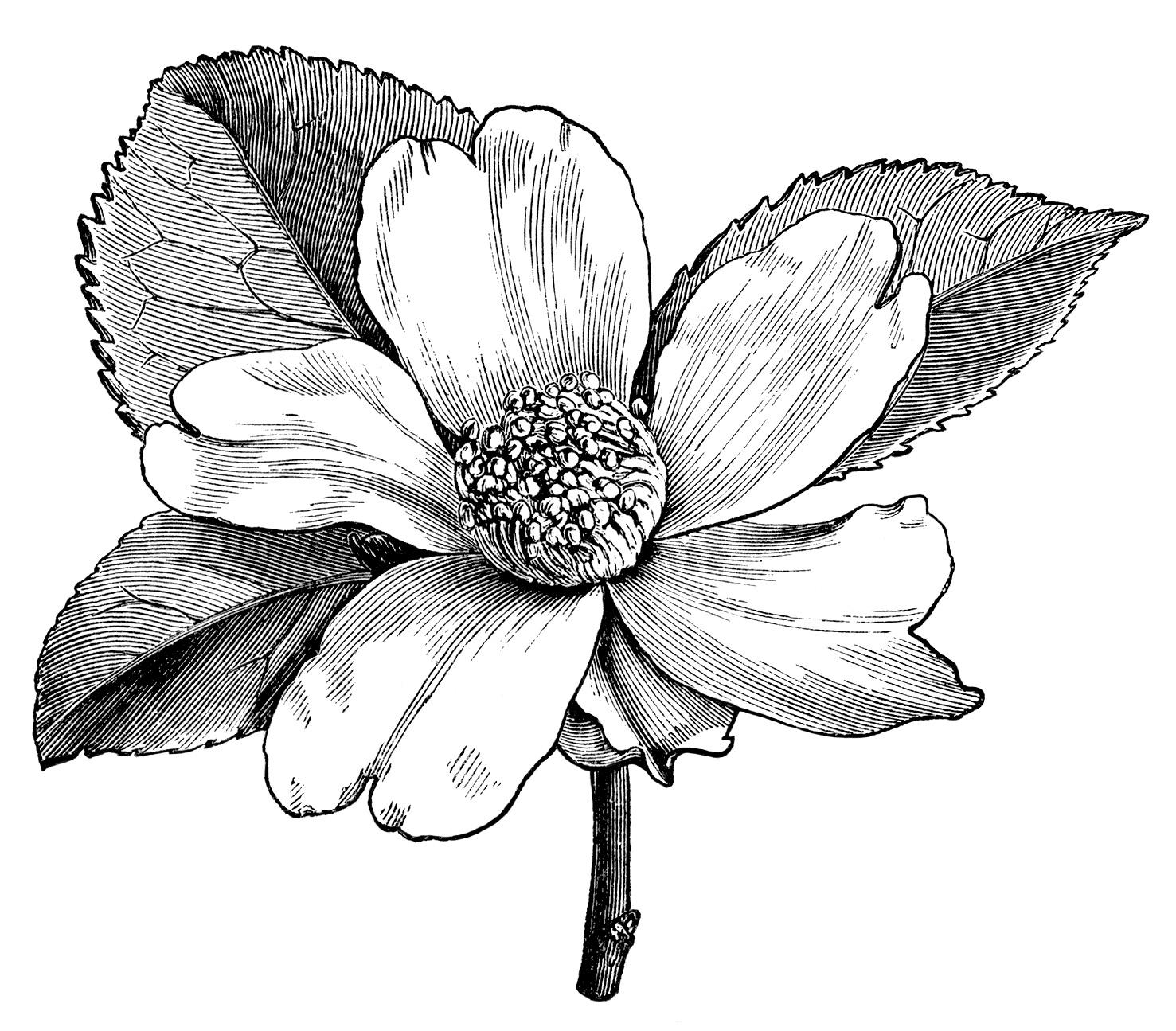 Camellia Oleifera Flower – Free Vintage Clip Art | Old ...  Black