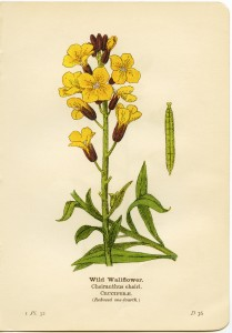 wild wallflower, cheiranthus cheiri, yellow flower printable, vintage flower clip art, floral botanical illustration