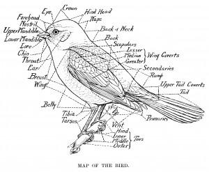 vintage bird clip art, map of the bird, black and white graphics, printable bird illustration, bird parts labelled, Louis Agassiz Fuertes