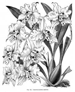 Odontoglossum Crispum, orchid clip art, black and white graphics, vintage flower illustration, printable floral image