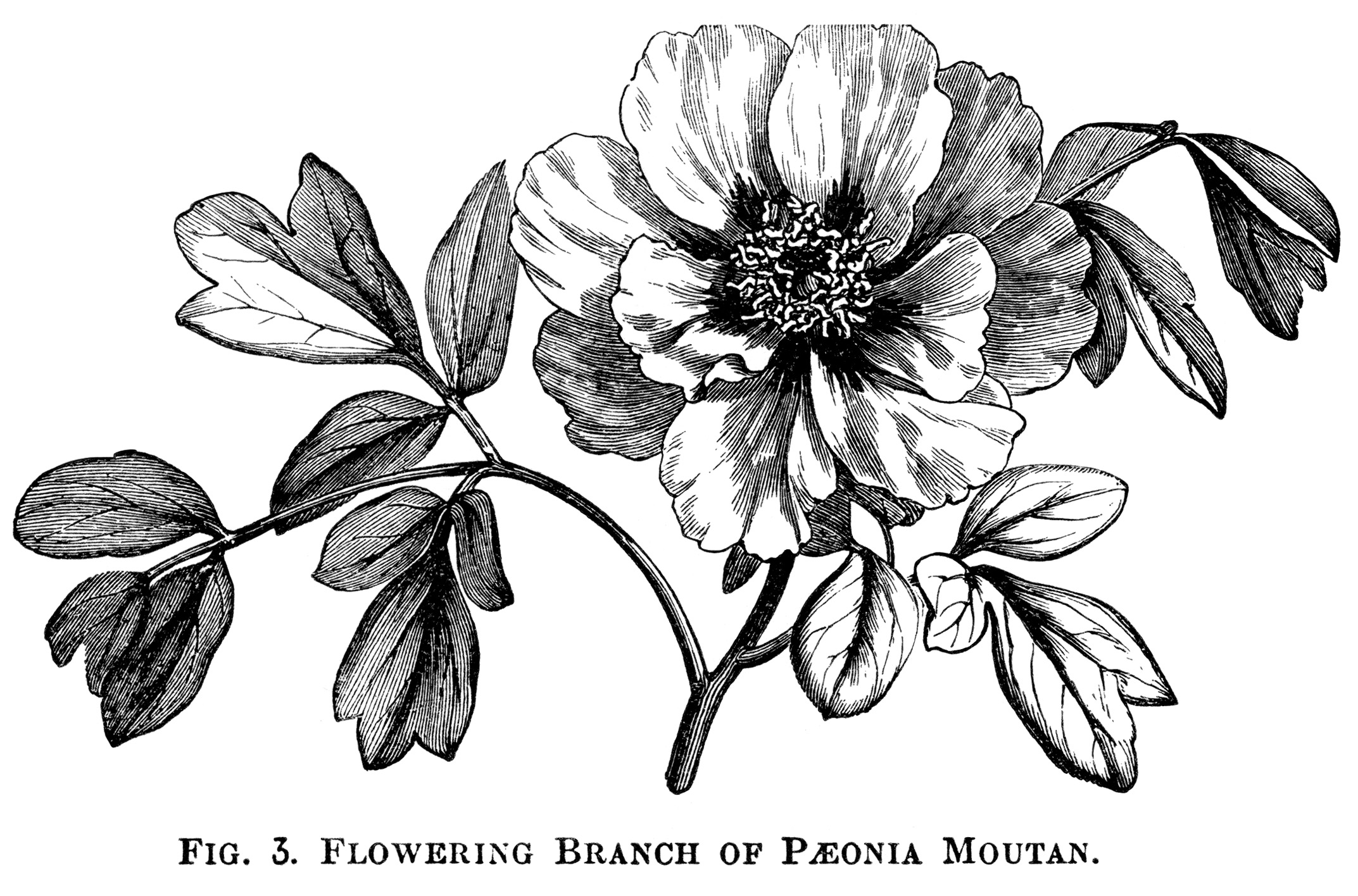 Botanical illustration black and white - photo#13