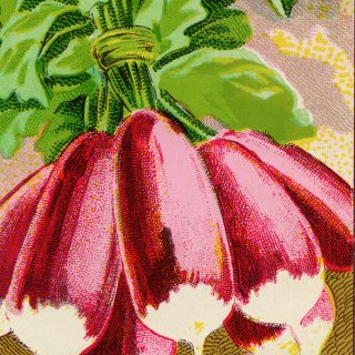 Free vintage clip art French garden seed packet label radish