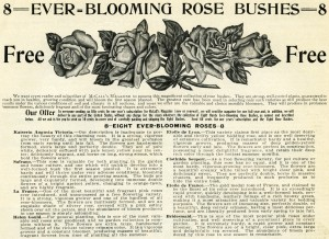 Free vintage clip art ever blooming rose bushes magazine advertisement