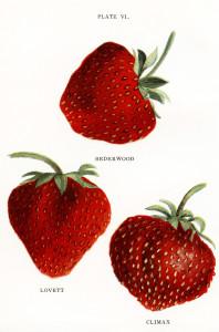 vintage strawberries clip art, jacob biggle berry book image, red strawberry illustration, public domain berries clipart, vintage fruit graphics