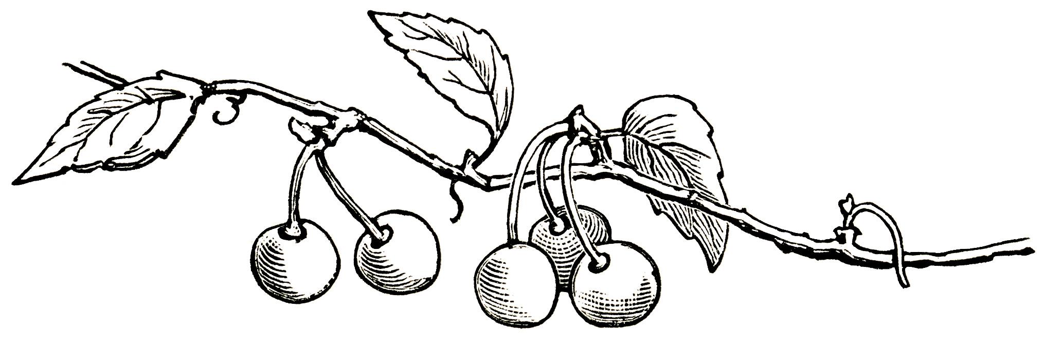 free vintage clipart cherries, cherries growing on branch, sketch of cherries, free vintage image cherry