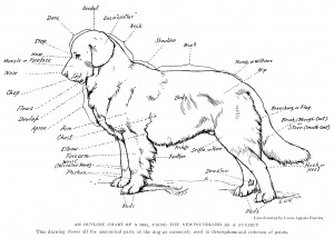 outline chart of dog, anatomical parts of dog, louis agassiz fuertes, the book of dogs, vintage sketch of dog, dog drawing, vintage clipart dog, free printable dog, public domain dog illustration