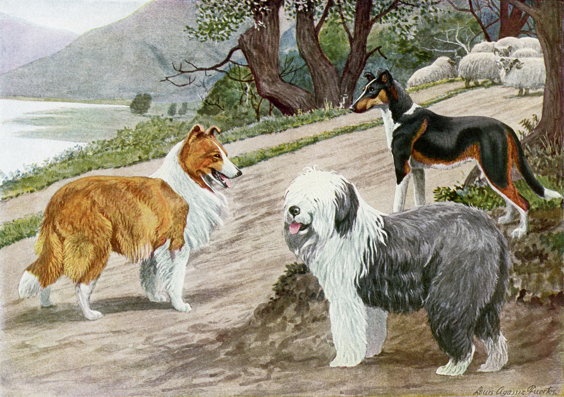 free vintage image dogs, collie, old english sheep dog, smooth collie, free printable, vintage dog illustration, the book of dogs