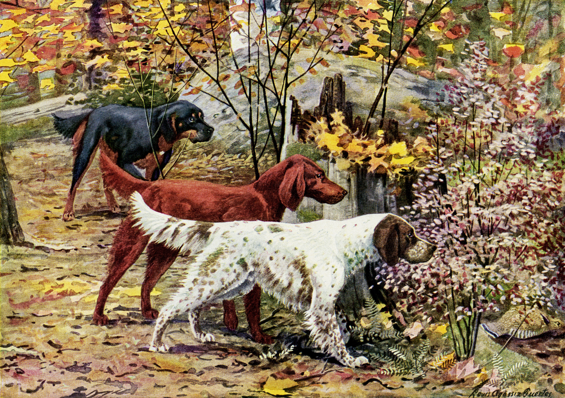 gordon setter, irish setter, english setter, free vintage image dogs, the book of dogs, vintage dog illustration, free digital graphics pets