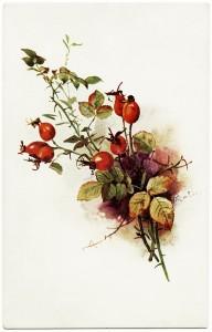 Free vintage clip art fall berries botanical postcard image