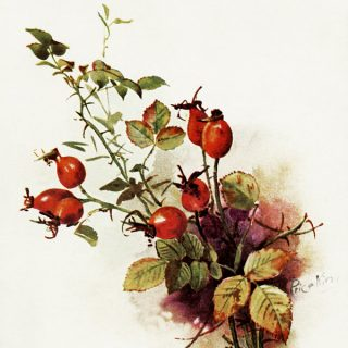 Free vintage clip art fall berries botanical postcard image