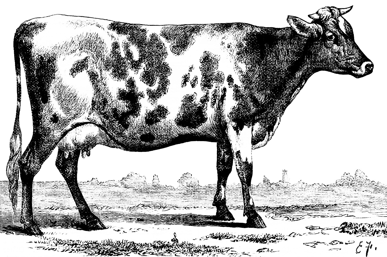 black and white clipart cow, vintage cow illustration, jersey ayrshire, vintage sketch cow, clip art farm animal