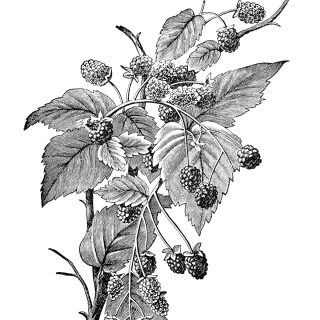 free vintage clip art raspberry illustration