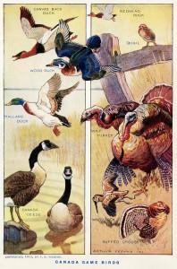 arthur freund, canada game birds, natural history bird graphics, free vintage image, antique bird illustration