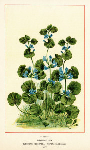 Free vintage clip art ground ivy botanical