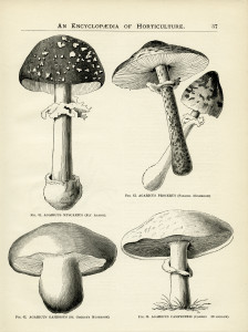 vintage botanical graphics, clip art mushroom, black and white garden clipart, mushroom illustration, old book page