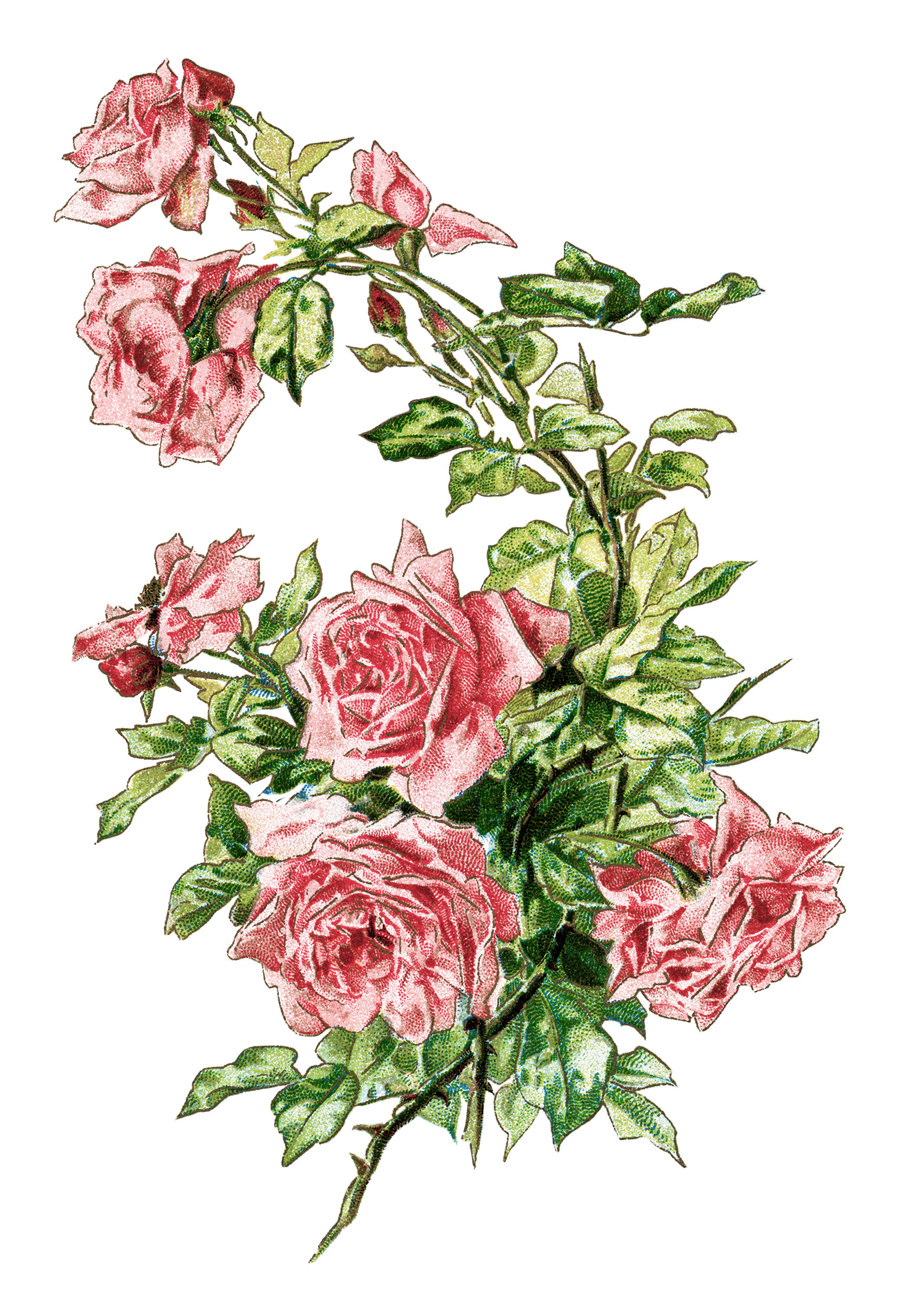vintage clip art rose, pink roses illustration, antique flowers digital image, old roses clipart, printable graphics roses