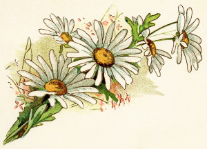 vintage daisy image, free digital floral graphics, cluster of daisies illustration, old fashioned daisy clipart, bouquet of daisies printable