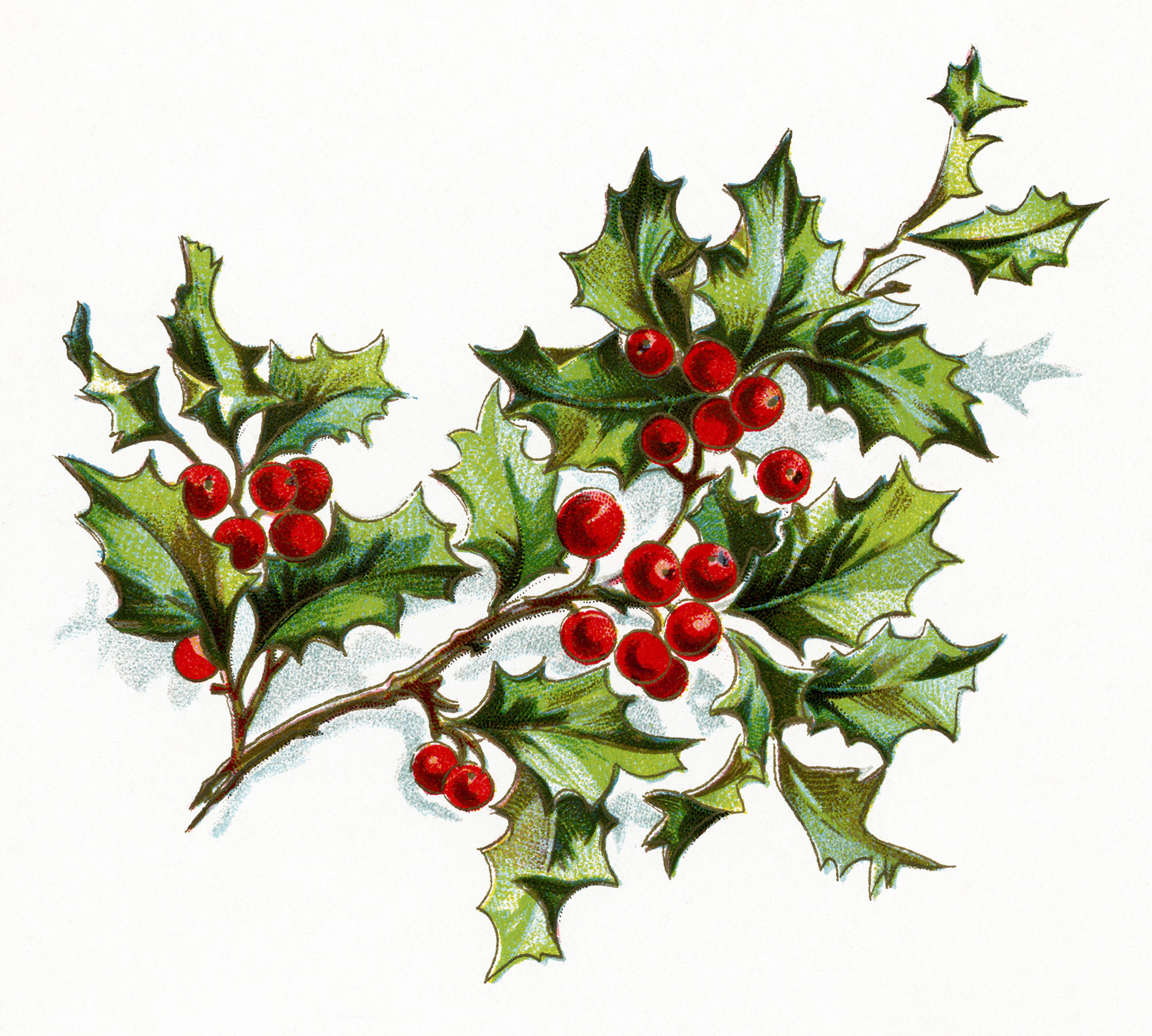 Free vintage image holly and berries old design shop