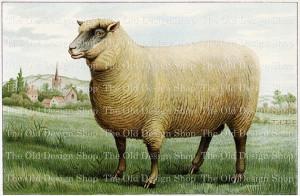 mrs beeton's southdown wether, vintage sheep clip art, free lamb image, printable animal graphics, farm sheep illustration