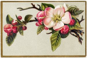 pink apple blossom, flowering apple tree branch, floral victorian card, free vintage ephemera, old fashioned printable card