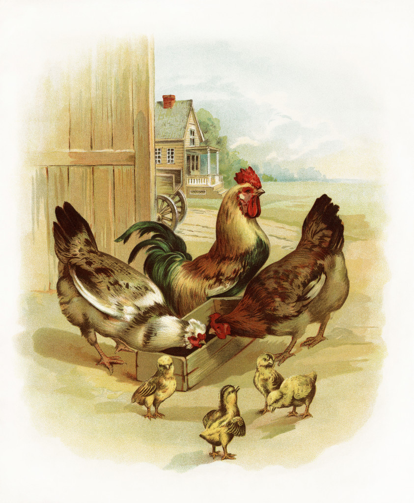 Rooster, Chickens and Chicks at the Farm - Old Design Shop ...