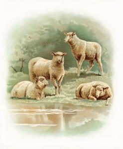 farm sheep image, vintage sheep art, visit to the farm, animals sheep lamb illustration