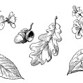 vintage leaf clipart, old school lesson, leaves and blossoms clip art, black and white image, leaf blossom flower acorn illustration