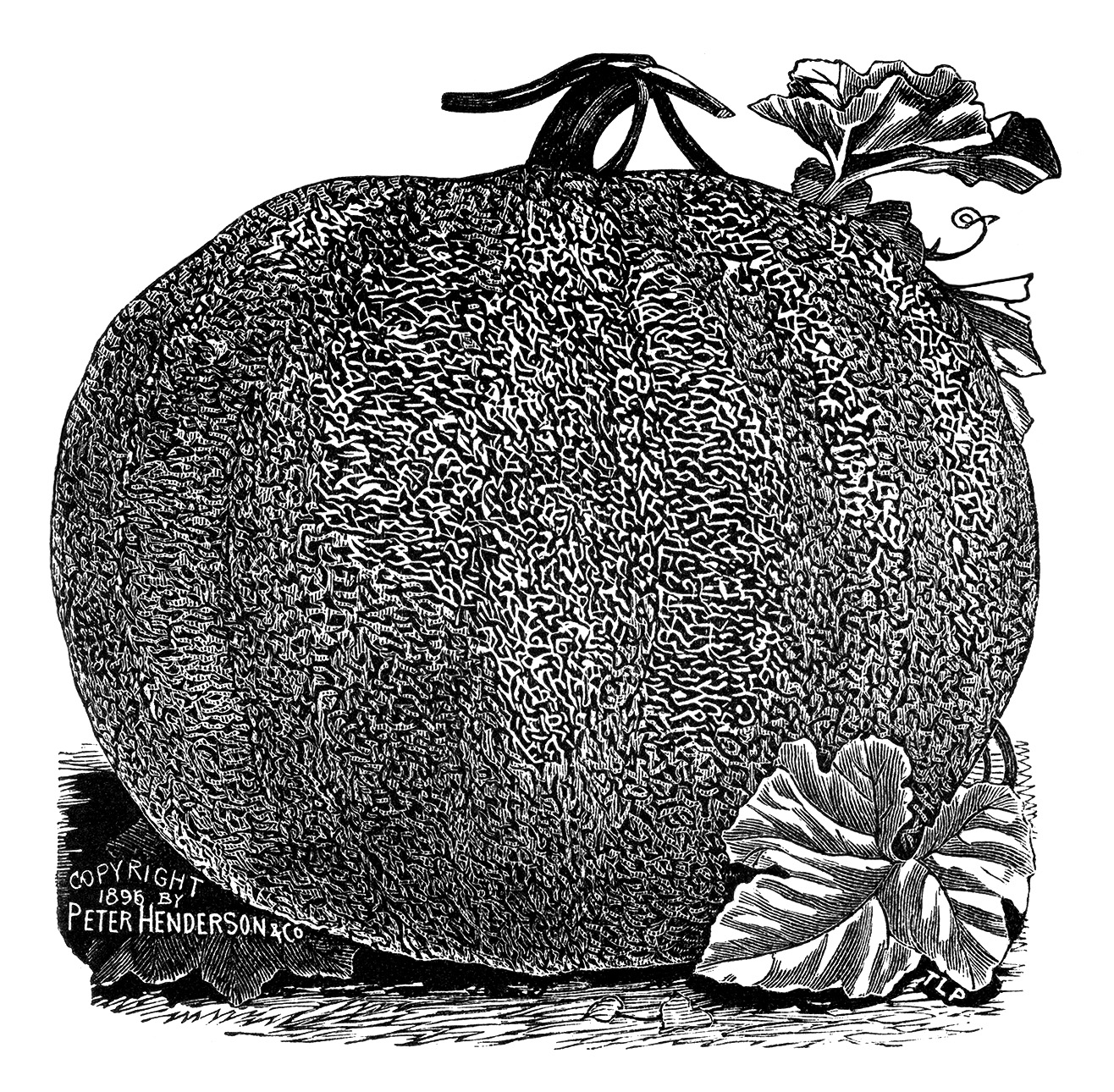 vintage pumpkin clip art, black and white clipart, winter pumpkin image, henderson pumpkin varieites, garden catalogue clip, printable garden graphics