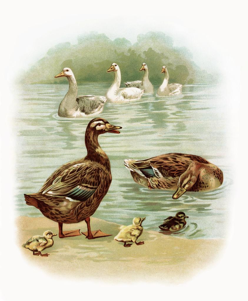 Про, открытки гуси