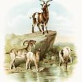 storybook goat image, vintage goat clipart, farm animal printable, visit to the farm, koerner Hayes 1896