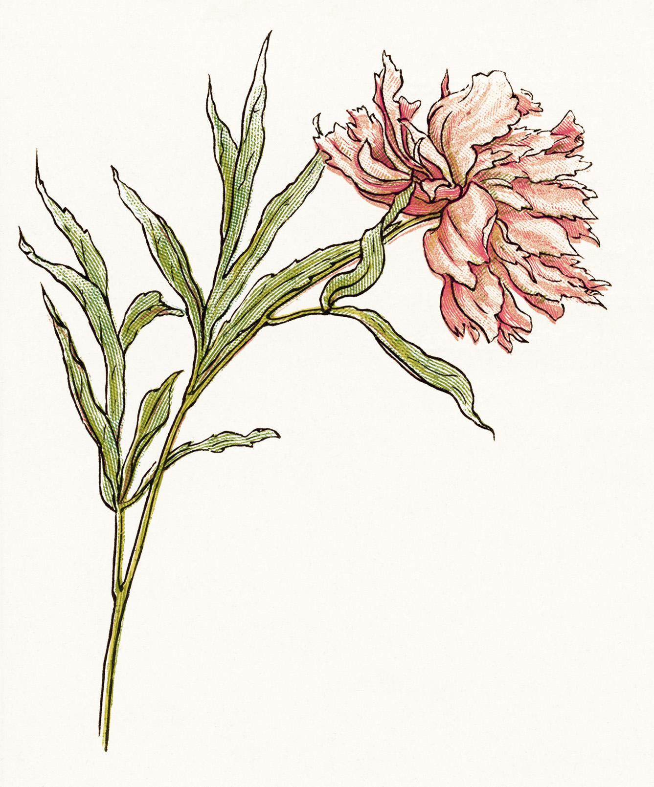 kate greenaway flower, pink peony clipart, free vintage floral image, storybook flower illustration, vintage garden printable