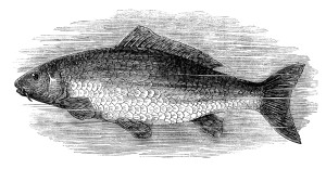 black and white clip art, vintage fish clipart, salmon image, carp illustration, printable fish graphics