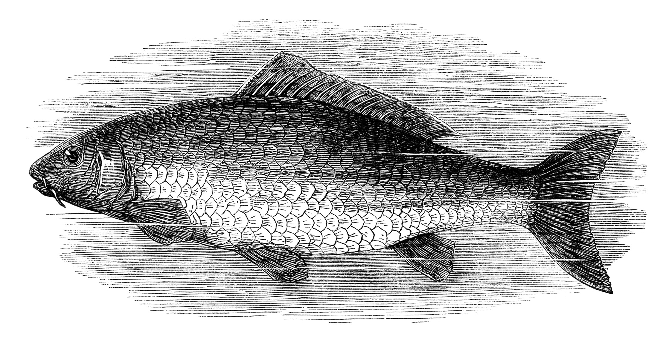 Free Vintage Fish Images ~ Salmon and Carp - Old Design ...