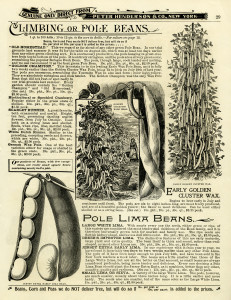 garden catalogue page, climbing beans illustration, black and white clipart, vintage garden clip art, vegetable garden image, pole beans image, beans in pod