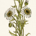 Kate Greenaway, bouquet of daisies, vintage daisy image, vintage flowers clipart, flower printable